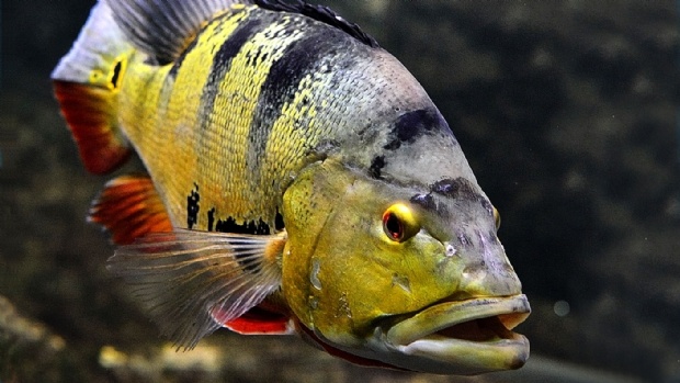 The Tucunaré-açu or Cichla temensis is the species of fish most sought after by sport fishing practitioners in the Amazon, being considered by many to be a true trophy.