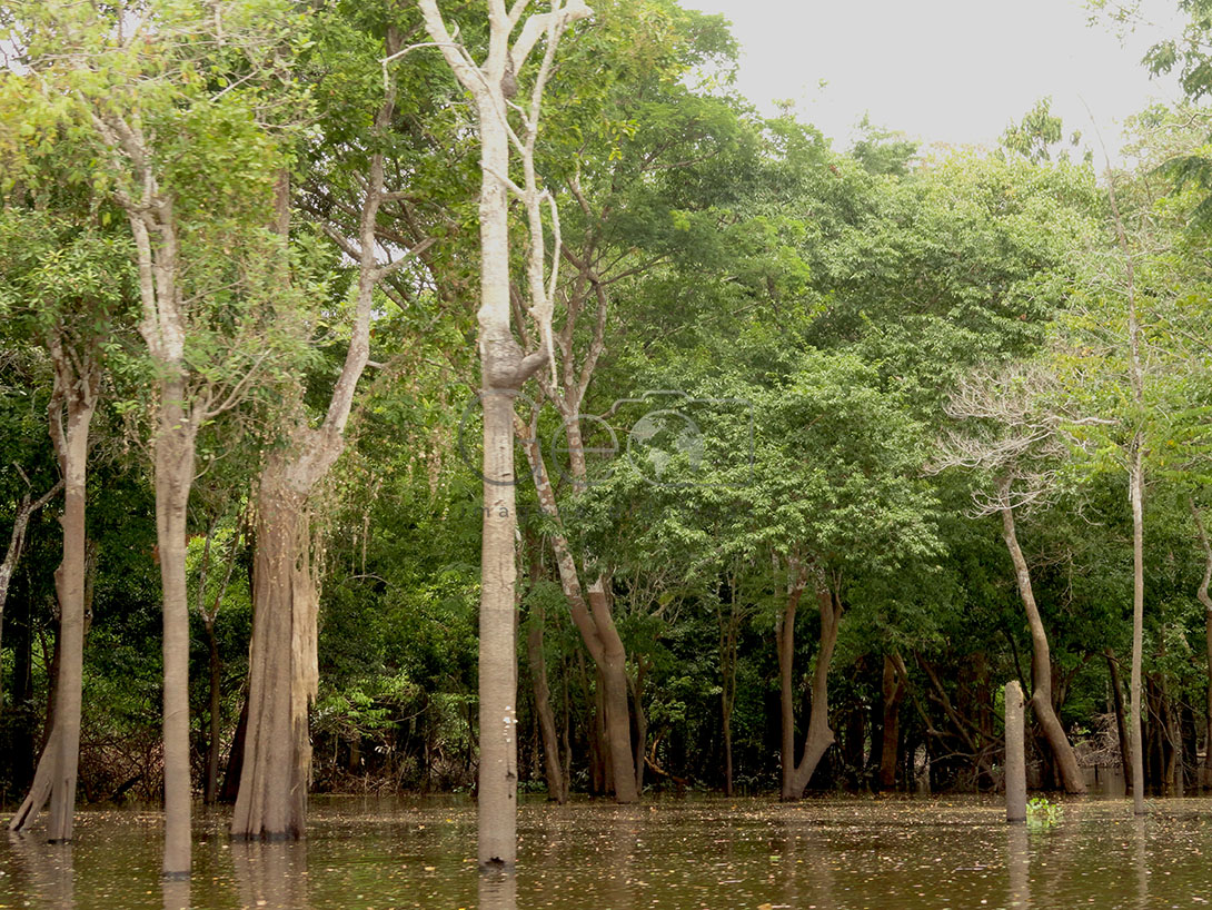 The Igapó Forest is made up of smaller plants, bathed by the dark waters of the main river, the Rio Negro. Located on low ground, the main composition of the forest are plants of small height and aquatic plants, in addition to having many vines.