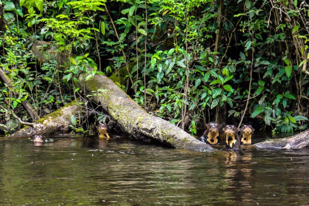 El RDS - Reserva de Desarrollo Sostenible de Amanã se creó a partir del Decreto 19.021, del 4 de agosto de 1998, con el propósito de combatir la pobreza y crear formas sostenibles de adquirir recursos para los residentes de la región y preservar el medio de vida ecológico.