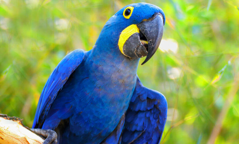 The number of birds catalogued in the Amazon already reaches 1,300 species. Besides toucans, macaws, owls, herons and hawks, the region has names that cause frisson among bird photography lovers.