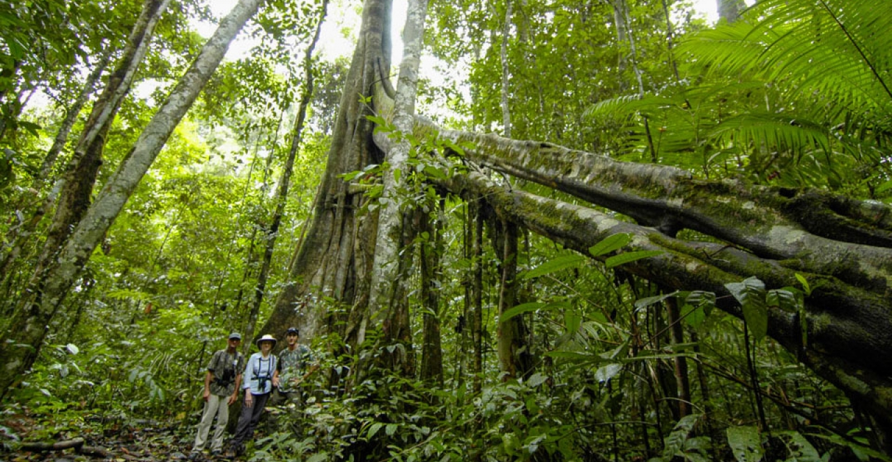 amazonian flora: Finally, the terra firme forest is found in most of the Amazon forest and does not suffer flooding because it is located in higher areas. The vegetation is formed of species of larger size, like the chestnut tree.