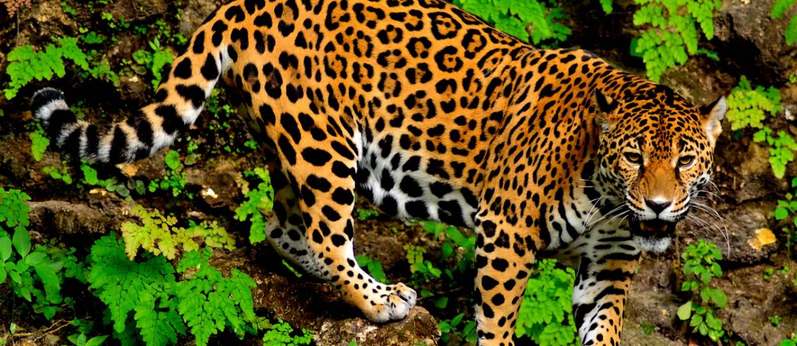 In addition, the jaguar also stands out with one of the animals symbols of Amazonian fauna.