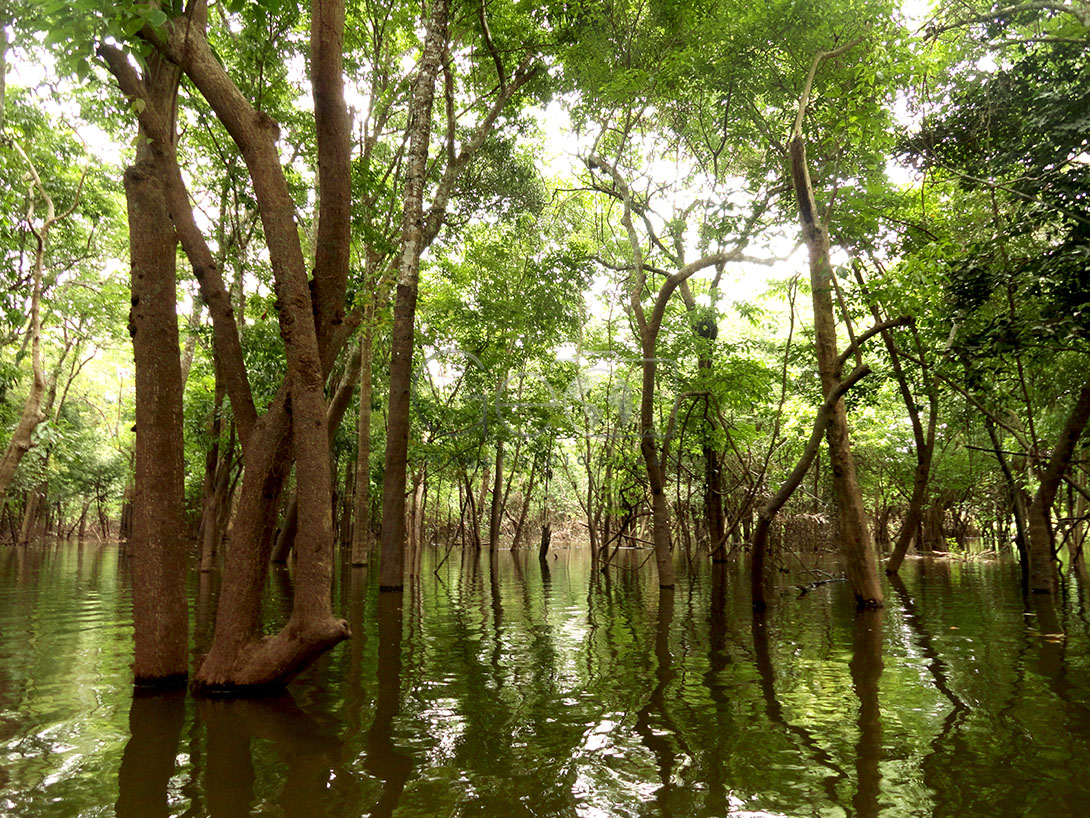 Amazonian Flora: the floodplain forest is located in low areas and suffers flooding according to the flooding of the rivers. The soils of the floodplain are extremely fertile, precisely because of the sediments deposited by the waters of the rivers. Andiroba, jatobá and seringueira are some of the species of the floodplain.